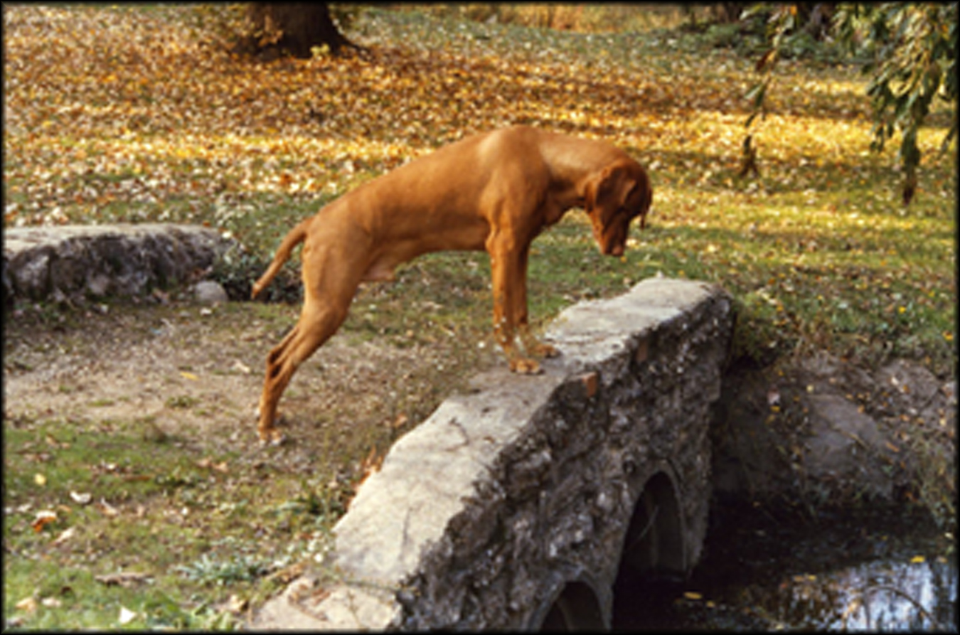 ผลการค้นหารูปภาพสำหรับ dog on the bridge