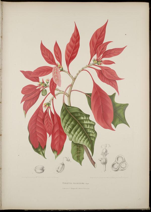 euphorbia-euphorbiaceae