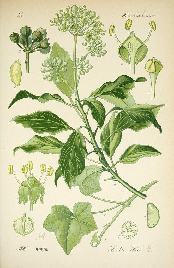 hedera-araliaceae