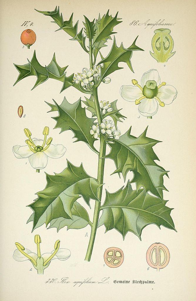ilex-aquifoliaceae